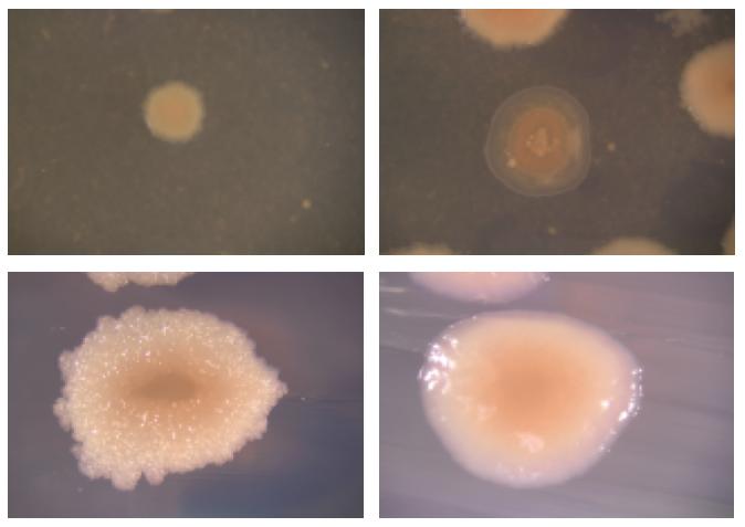 Speedy Speciation in Bacteria