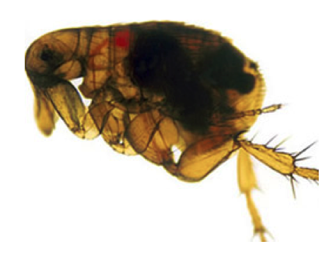 A flea infected with Y. pestis (National Institute of Allergies and Infectious Diseases)