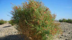 A Sparsifolia